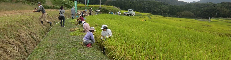 小野の稲刈り
